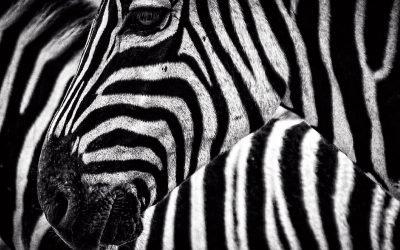Las cebras son daltónicas